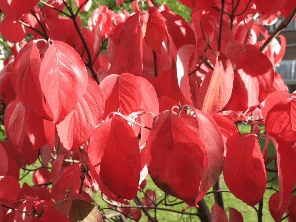 Кустарники для сада, которые сохранят яркость осенью