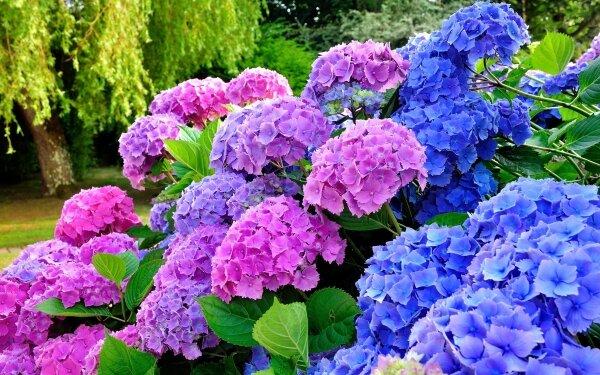 Гортензия в саду: крупнолистная или садовая (Hydrangea macrophylla)