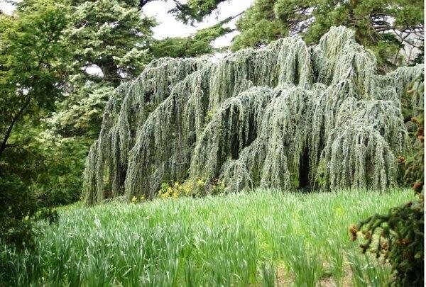 Плакучие деревья для сада – 8 красивейших лиственных деревьев